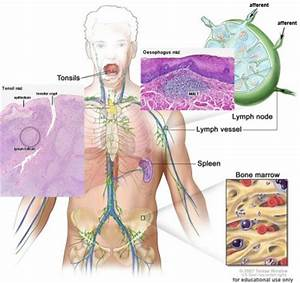 SH Lecture - Lymphatic Structure and Organs - Embryology