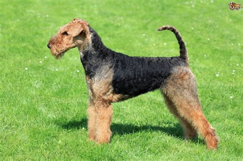 Non Shed Dogs Large by Airedale Terrier Dog Breed Information Facts Photos