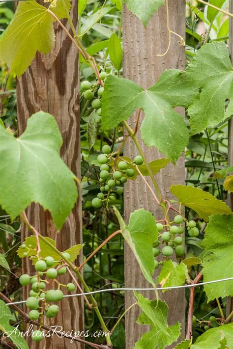 Daily Photo Concord Grapes On The Vine