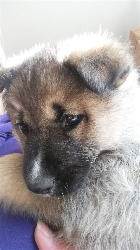 fluffy german shepherd husky pup home dawg