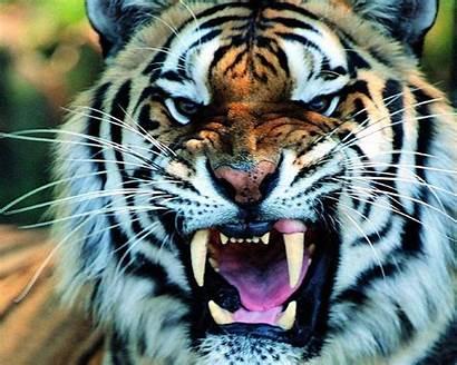Wallpapers Tigre