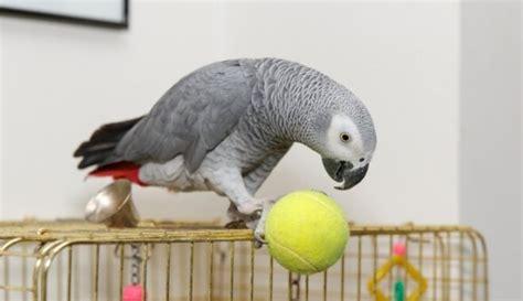 Meklē Tūjas apkārtnē pazudušu Āfrikas pelēko papagaili ...