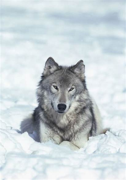 Wolf Blanket Throw Wolves Animal Animals Habitat