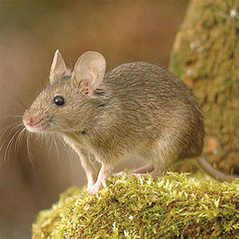 rodent pests barrettine environmental health