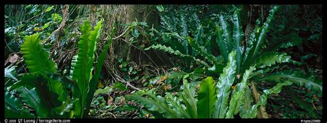 Panoramic Picturephoto Old World Tropical Rainforest