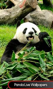 Free Panda Live Wallpapers free android app - Android Freeware