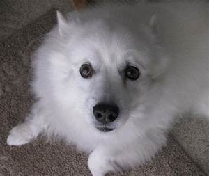 100 best Miniature American Eskimo Dogs images on ...