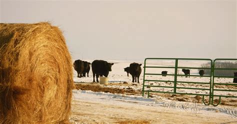 tightening  calving season