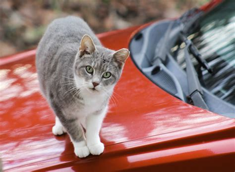 how to keep cats cars keep cats off cars