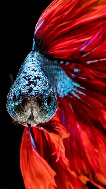 Fish Betta Iphone Wallpapers Clean Wallpaperboat