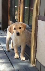 Labrador Retriever | PetSync