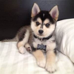 "What Do You Know about the Latest Hybrid Dog ""Pomsky ..."