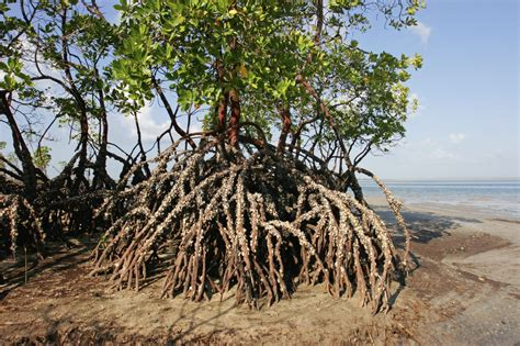 What Are Mangroves Learn About The Importance Of Mangrove
