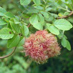 Wucherungen An Pflanzen : balkonpflanzen n hrstoffmangel erkennen pflanzenschutz ~ Buech-reservation.com Haus und Dekorationen