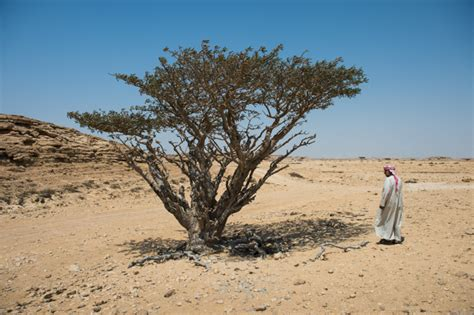 growing frankincense shopping for christmas treasures gold frankincense and myrrh in oman