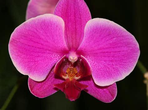 soigner une orchidee en pot comment soigner les orchid 233 es phalaenopsis l atelier des fleurs