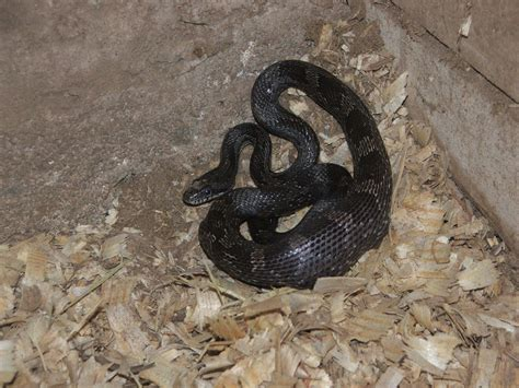 black rat snake facts  pictures reptile fact