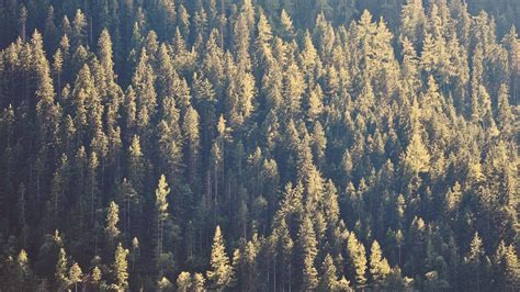 Forest Pine Tree Trees Wallpaper