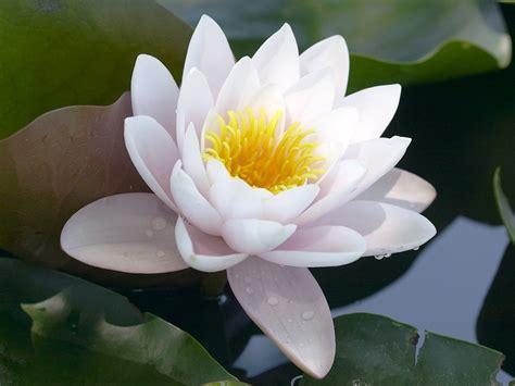 gambar bunga teratai putih indah pernik dunia