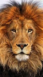25+ Best Ideas about Lions on Pinterest | Lion couple ...