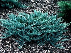 Juniperus Horizontalis Blue Chip Pictures