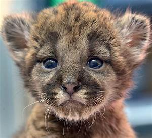panther cub   Baby Animals   Pinterest