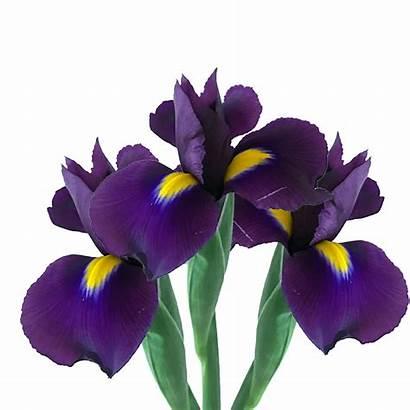 Iris Purple Flowers Arrangements Bridal Globalrose
