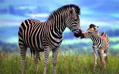 Zebra Backgrounds