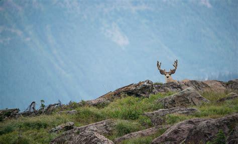 Whitetail Deer Shedding Velvet by Mule Deer Archives Montana Wild