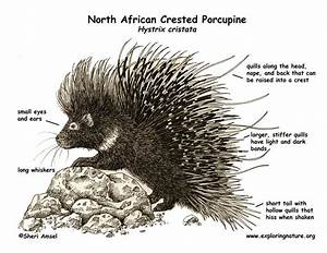 Porcupine  North African Crested