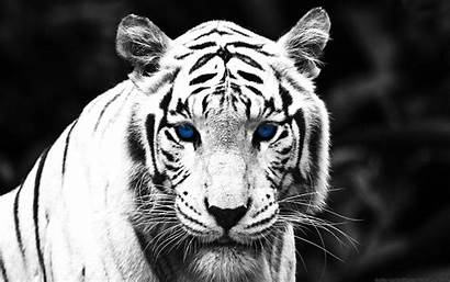 Tigre Ojos Azules Wallpapers