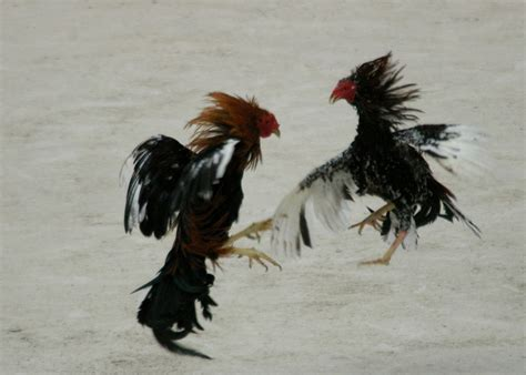 In an ambush or blocking position the machine gunner was. Awetya: Images Roosters Fighting - Pictures
