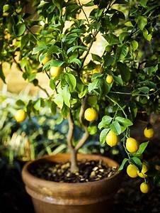 How To Grow A Lemon Tree In Pot