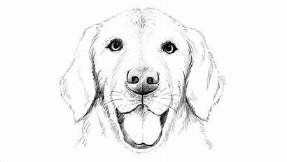 Labrador Dog Drawing Realistic Draw Sketch Lab