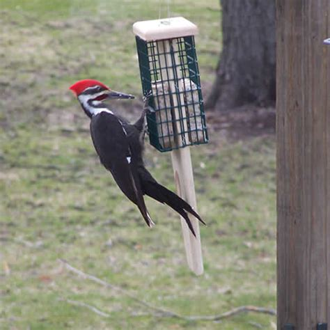 pileated woodpecker feeder duncraft duncraft 5035 pileated prop suet feeder