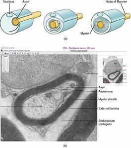 Nervous Tissue  U00b7 Anatomy And Physiology