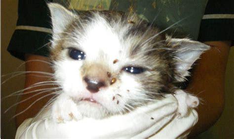 cat owner   kittens die  flea infestation