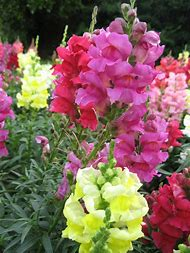 Snapdragon Flower Scientific Name