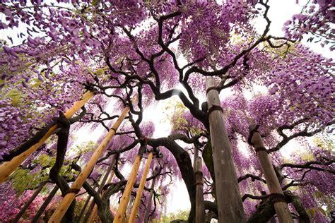 Spring Japan Wonderful Wisteria Billions