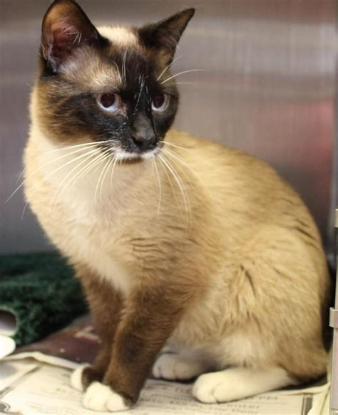 Cats For Adoption Siamese Cats For Adoption Near Me At The Cat Gallery