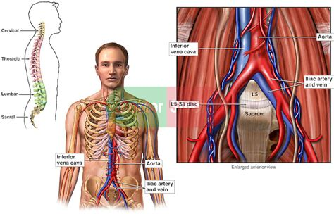 To print or download this file, click the link below: Anatomy of the Abdominal Blood Vessels | Doctor Stock