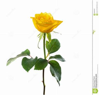 Rose Yellow Single Flower Clipart Flowers Clip