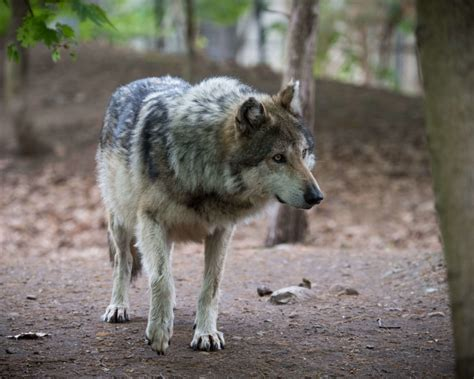 mexican gray wolf facts diet habitat pictures