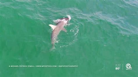 goliath hammerhead attacks shark grouper singer island