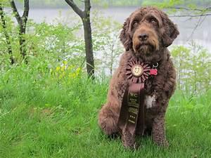 Barbet Bibiche in Quebec earns her CKC WCI ribbon ...