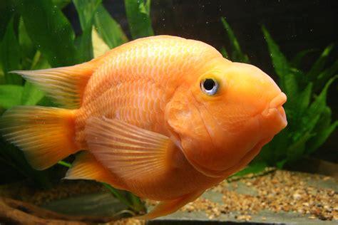 blood parrot fish cichlids com male blood parrot whistling