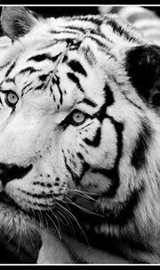 sasha up close! | sasha a bengal tiger at colchester zoo ...