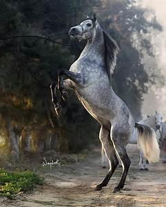 Gorgeous Rearing Dapple Gray Arabian. | Animals - Horses ...