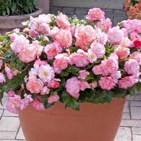 Garden Blush Begonia by Begonia On Top Pink Blush Garden Plants Begonia