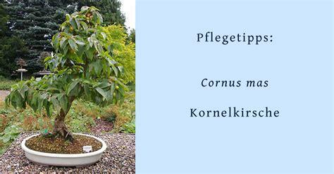 cornus mas kornelkirsche oder hartriegel als bonsai